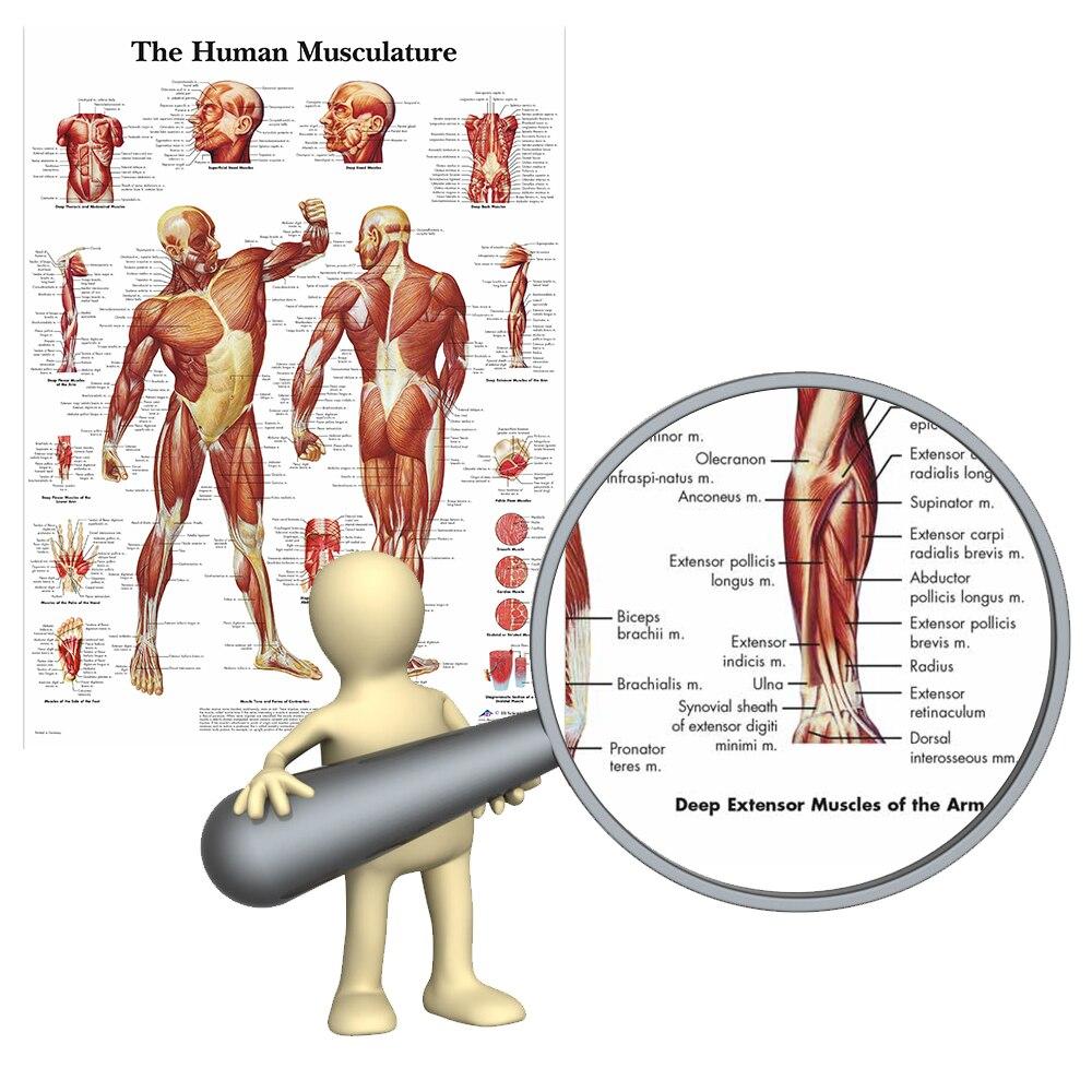 Wangart Human Anatomy Muscles System Art Poster Print Body Map