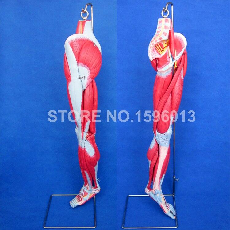 HEIßER Muskeln von Bein mit Hauptgefäße und Nerven, Beinmuskulatur ...
