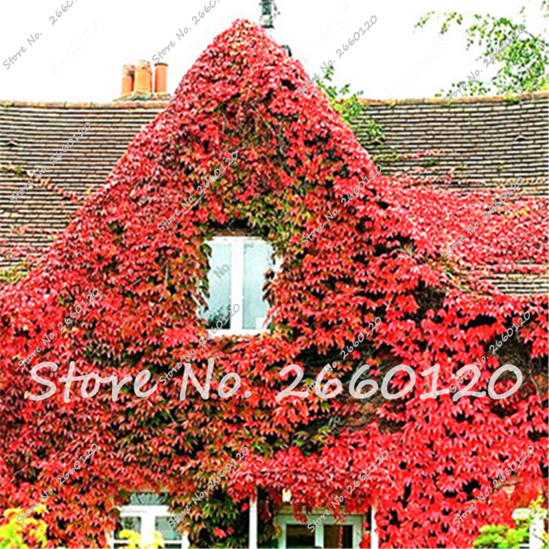 Ivy Seeds ZLKING 100pcs Boston Blue Ivy Seeds Rare and Original Japanese Creeper Ivy Seeds Groundcover Creeper Grass Garden Home Plant Wall Decor