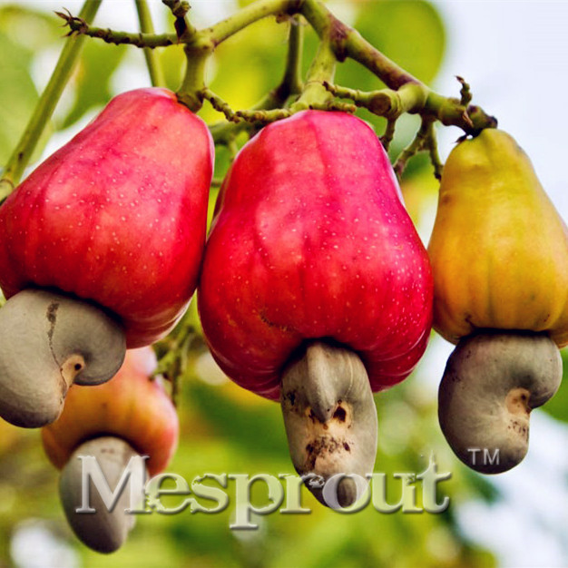 compare prices on cashews fruit online shopping/buy low price, Beautiful flower