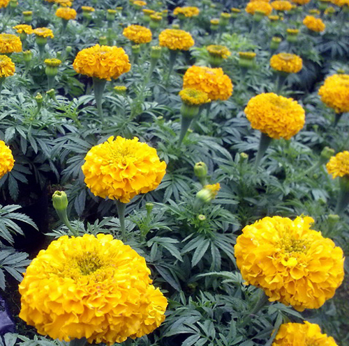 5 Pack 200 Seed Yellow Aztec Marigold Seeds Tagete Erecta Flower Garden Seeds A005