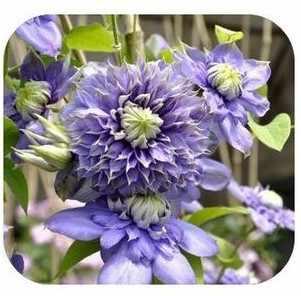 20pcs vite clematis clematis in vaso di fiori da giardino