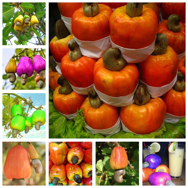 Garden Plant 5 PCS Cashew Tree Seeds, Anacardium Occidentale, Rare Tropical Plant Tree Fruit Seeds
