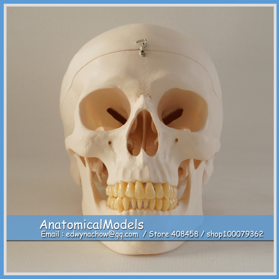 цена 13216 DH1901 Quality 3parts Skull Model, Medical Science Educational Dental Teaching Models онлайн в 2017 году