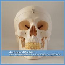 ED-DH1901 Quality 3parts Skull Model, Medical Science Educational Dental Teaching Models