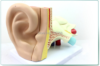 Ear Anatomic Structure Model,New Model of the ear Anatomy of Amplification