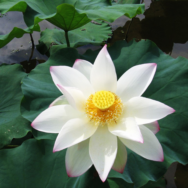 5 Pieces Japan Lotus Flower Seeds Aquatic Plants Water Lily ...