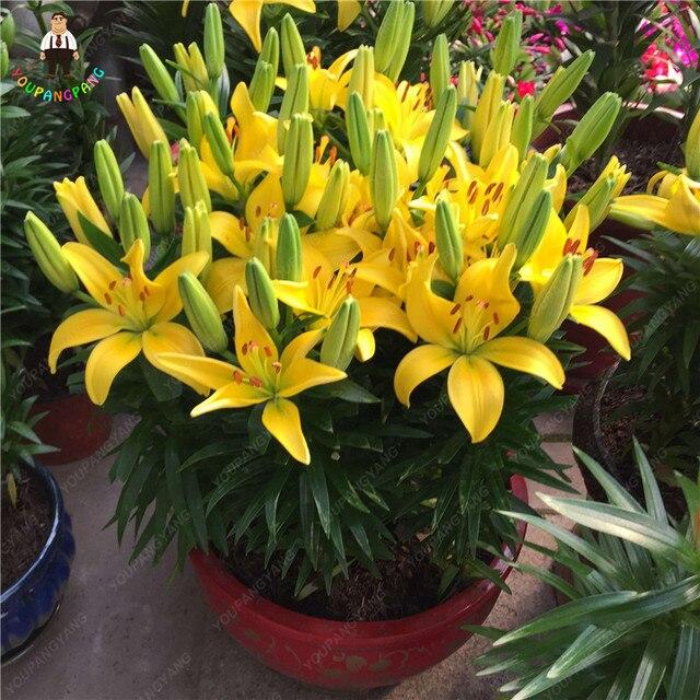 Hot New 100 pz Profumo di Giglio piante Fiore di Germinazione del 95% Rampicanti Bonsai FAI DA TE Forniture Da Giardino Vasi Da Fiori Fioriere Decorazione Della Casa