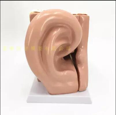 5 times magnification simulates human ear anatomy model 5 parts ear instrument amplifies ear position anatomy specimen