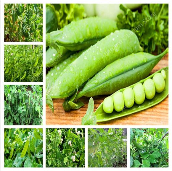 2019 Big Promotion ! 20PCS Dutch Beans Vegetable Plant Peas Green Healthy Vegetables Potted Home Garden Planting
