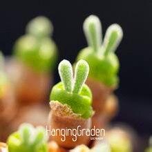 新しい種子2016! 100ピース/バッグカラフルなリトルウサギmonilariaのobconica多肉植物ミックス種子鉢植え盆栽花(China (Mainland))