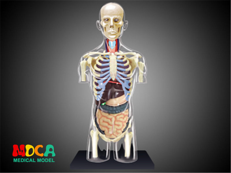 Human body splanchnic 4d master puzzle Assembling toy human body organ anatomical model medical teaching model organ anatomical model teaching medical human body specimen model human lung anatomical model 4 parts gasencx 0055
