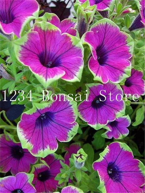 100 pz Petunia Piante, doppi petali petunia Giardino, Fiore bonsai Plantas fiore pianta bonsai petunia petali di fiori