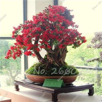 20 pz/borsa Giapponese Azalea Rhododendron Azalea Fiori Perenni Giardino Bonsai Albero di Impianto FAI DA TE Giardino di Casa