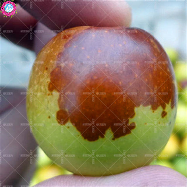 10pcs giant winter jujube seeds sweet organic fruit seeds natural date palm tree bonsai planting for DIY spring farm supplies
