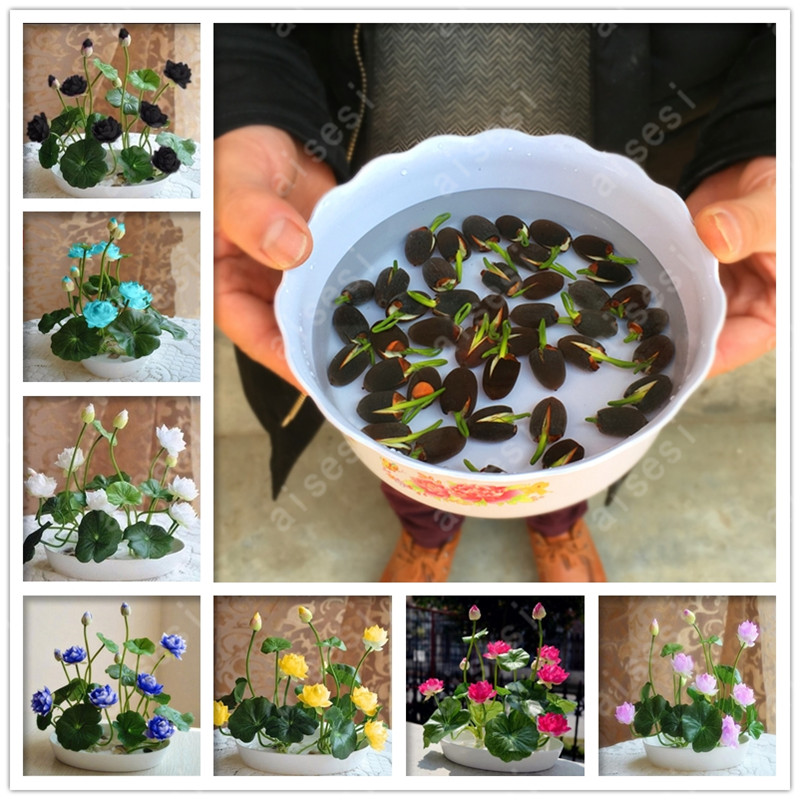 bonsai flower  lotus flower for summer 100% real Bowl lotus   pots Bonsai garden plants 5/bag(China)