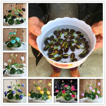 kwiat kwiat lotosu Bonsai na lato 100 Real Bowl Lotus doniczki Bonsai ogród rośliny 5 Bag tanie i dobre opinie Bardzo proste Wykluczone Nowa roślina Upiększających Wieloletnich Średni mały Virgo Courtyard Umiarkowany Z na Rośliny ogrodowe