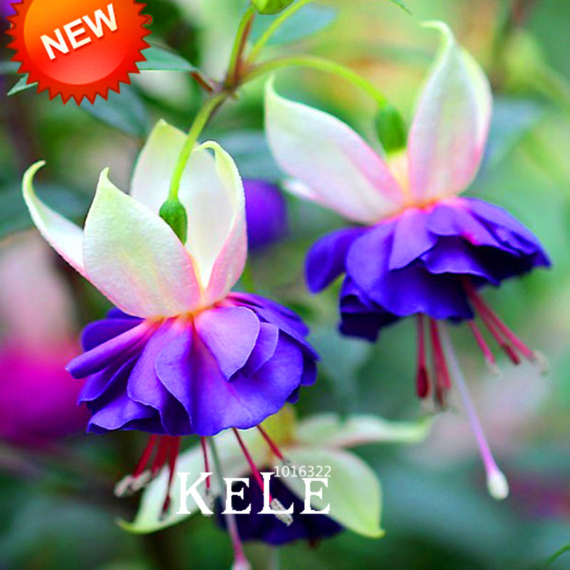 Aliexpress buy new 2018pink purple bell flowers fuchsia pink purple bell flowers fuchsia bonsai potted flower garden plants hanging fuchsia flowers 50 pcsbagjotl3t from reliable seed plants suppliers on mightylinksfo