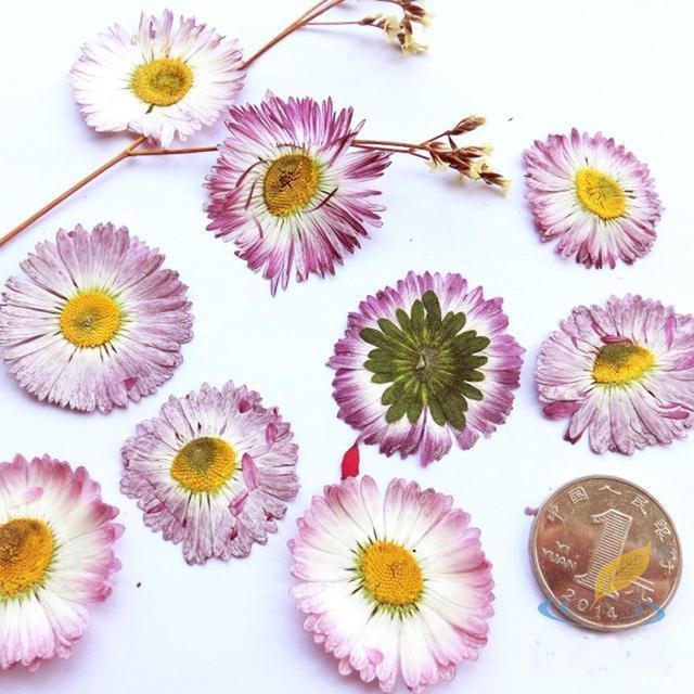 10 Teile Los Grosse Daisy Lila Weiss Blumen Naturliche Getrocknete