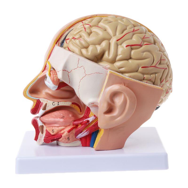 Ofis ve Okul Malzemeleri'ten Tıbbi Bilim'de Insan Anatomisi Kafa Kafatası Beyin Serebral Arter Anatomik Modeli Öğretim Için malzeme escolar L29K'da  Grup 2