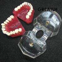 שיניים מודל סטנדרטי עם #4004 01 שיניים חקר ללמד שיני שיניים נשלפים