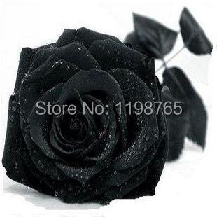 100 pcsPromotion! 100 pcs New Black Rose Sementes Chinês Rose Sementes de Flores vasos de flores plantadores Bonsai DIY Casa Jardinagem Gota Shippin Grátis