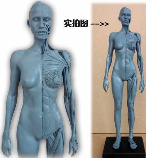 30cm humano femenino modelo cráneo anatomía cabeza hueso y músculo artista médico dibujo esqueleto en venta suministros de arte