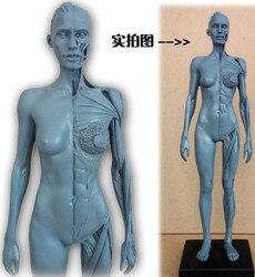SHUNZAOR 30 cm Femmina Umana Modello Anatomico della Testa Del Cranio Osseo Muscolare Medico Artista Disegno scheletro per la vendita