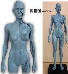 SHUNZAOR 30 cm modelo humano femenino anatomía cráneo cabeza músculo hueso médico artista dibujo esqueleto para la venta