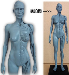 SHUNZAOR 30cm Human Female Model Anatomy Skull Head Muscle Bone Medical Artist Drawing skeleton for sale