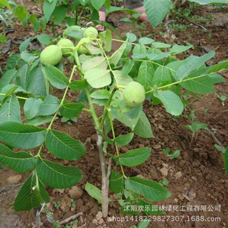 Quả óc chó bonsai óc chó bán buôn óc chó bonsai và trái cây năm kết quả 1 cái/gói