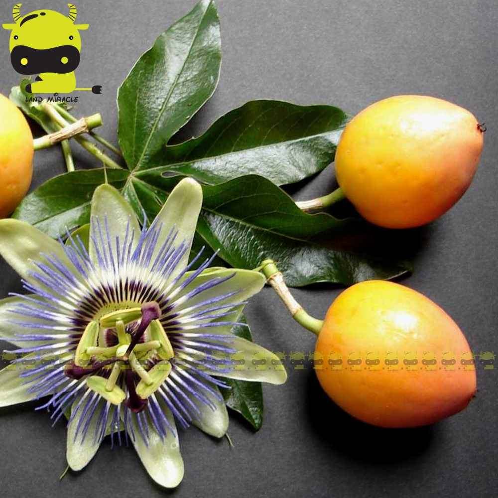 100 True Brazil Passionfruit Fruit Seeds 40 Seedspack Yellow