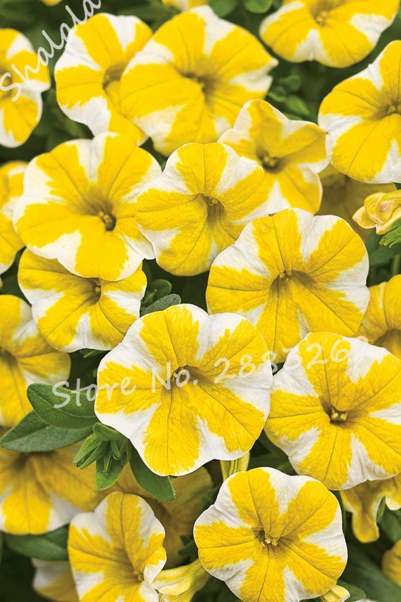Outdoor ornamental plants - Exotic Yellow Phlox Seeds Bonsai Seeds Outdoor Ornamental Plants Flower Natural Growth The Germination Rate