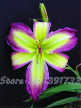 100 pcs lily seeds in bonsai indoor plants flowers calla lily seed beautiful garden flower sementes for men * kids gift plant