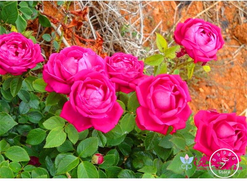 Розы многолетние аромат семена фото