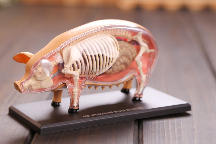 Pig anatomical model pig skeleton model Pig bones