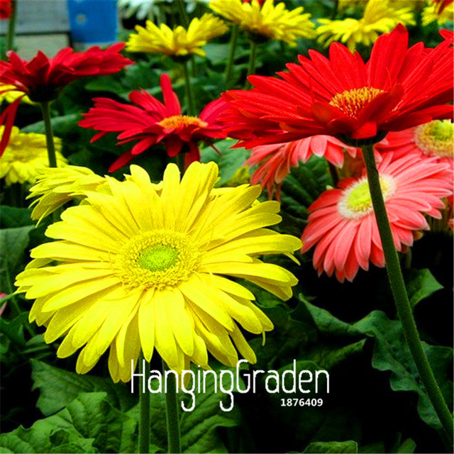 Gerbera Daisy Hybrids Mix Flower Seeds Bonsai plants  for home & garden