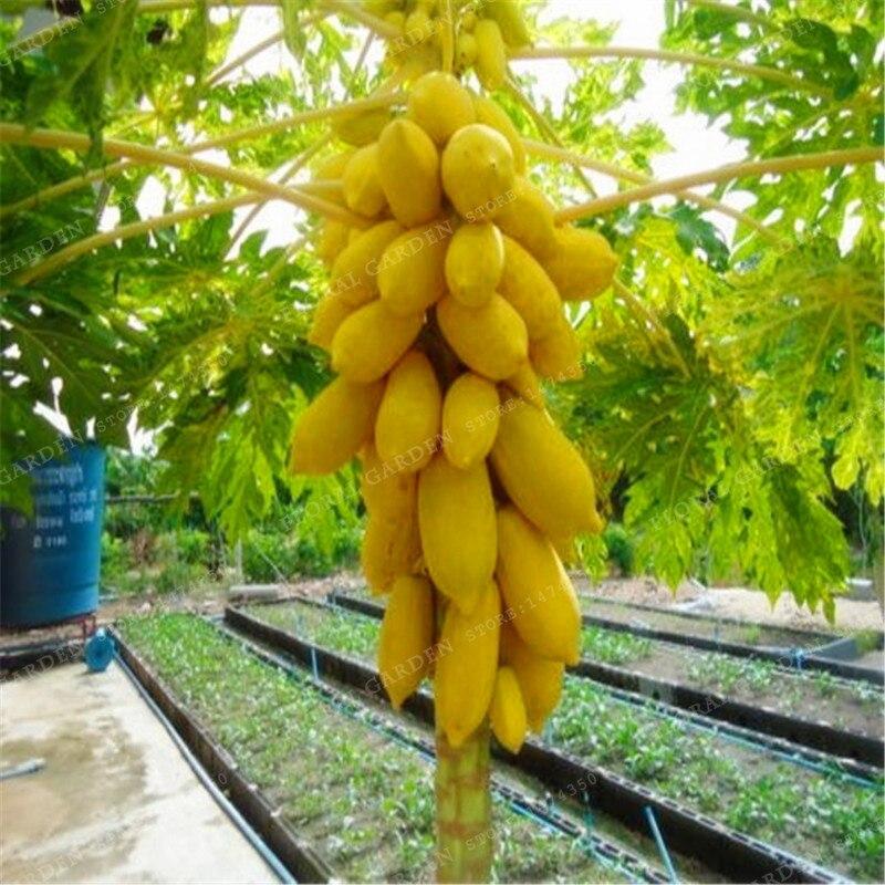 Resultado de imagen para plantaciones de papayas fotos