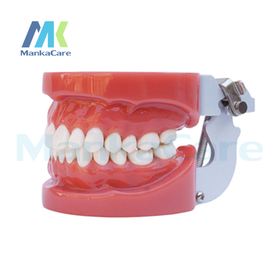 Manka Care - Standard Model/28 pcs Tooth/Hard Gum/Without screw/FE Articulator Oral Model Teeth Tooth Model pro teeth whitening oral irrigator electric teeth cleaning machine irrigador dental water flosser teeth care tools m2