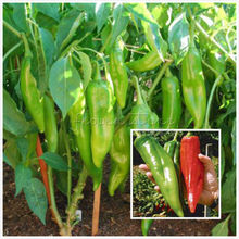 10 + NuMex12  Inches Long Jim Chile Pepper Seeds~