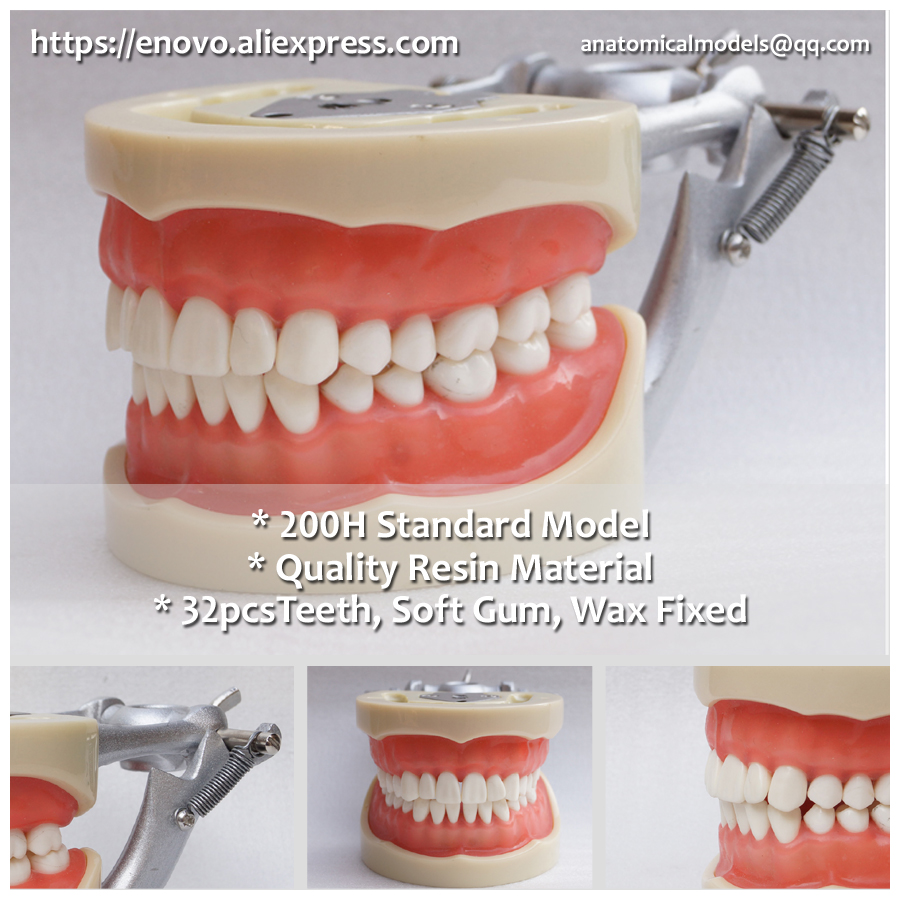 13012 DH110 Soft Gum 32pcs Teeth 200H Type Standard Jaw Model, Medical Science Educational Dental Teaching Models 13007 dh106 hard gum 32pcs teeth standard jaw model medical science educational dental teaching models