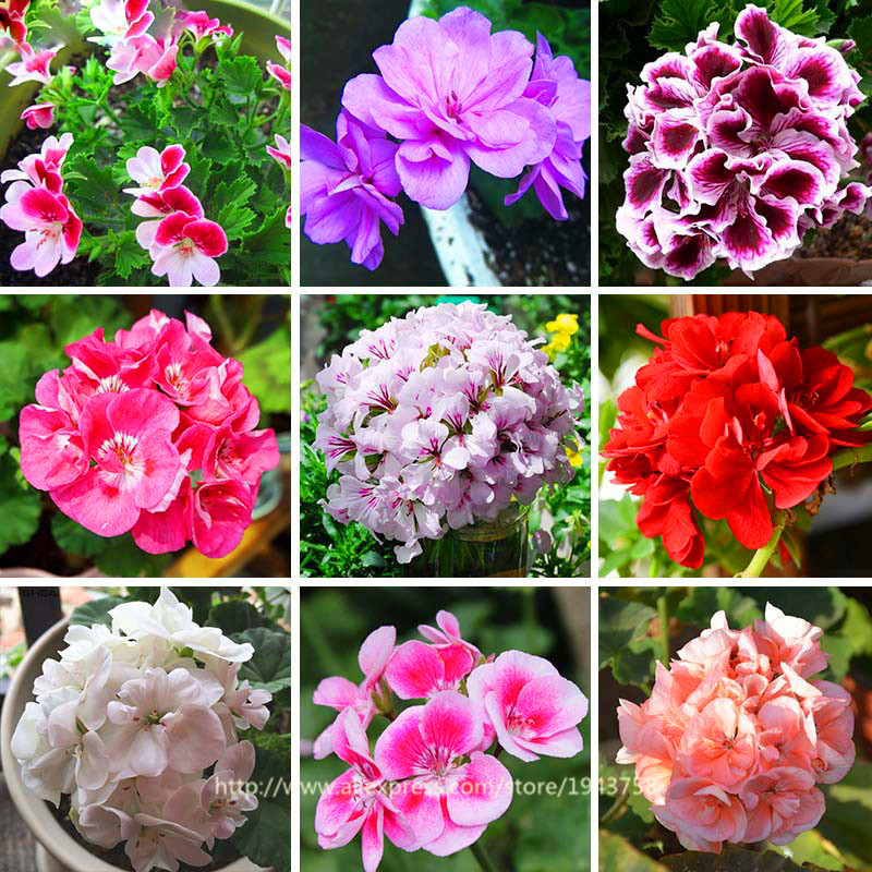 100 pcs Rare Geranium seeds, 17 Colors Perennial Flower Seeds Pelargonium Peltatum Seeds available , bonsai potted flower plant