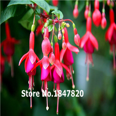 100pcs Fuchsia flower seeds lantern flower indoor balcony bonsai seed flowers seeds Bonsai plant DIY home & garden free shipping
