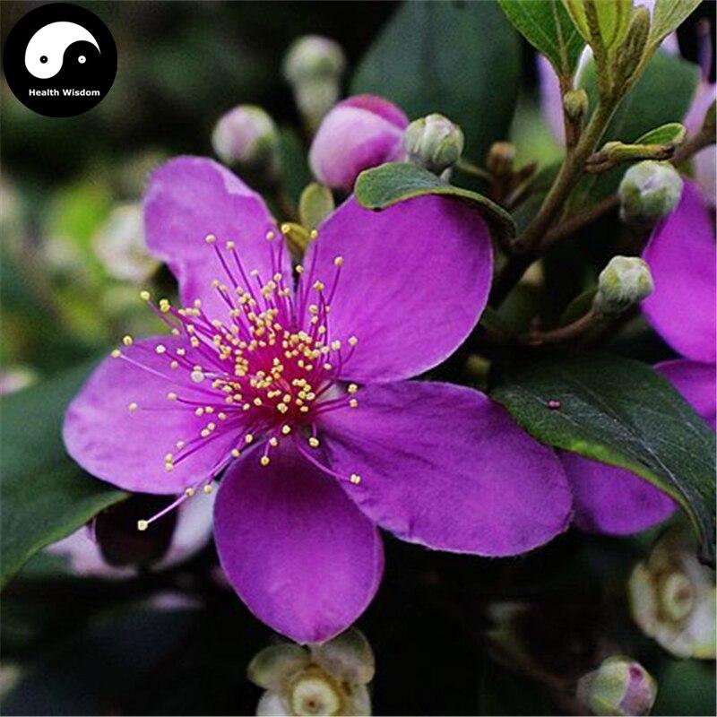Buy Rhodomyrtus Tomentosa Tree Semente 50pcs Plant Rhodomyrtus Tomentosa For Tao Jin Niang