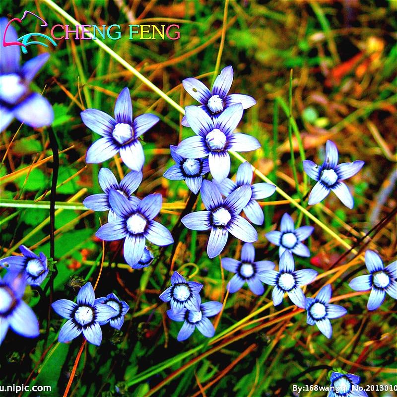 100pcs Low Growing Wildflower Seeds Easy Germinate Ornamental Indoor
