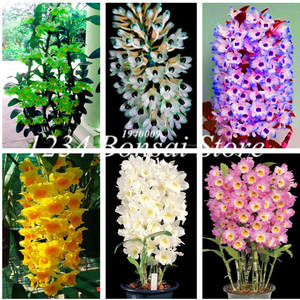 Tree-Plants Orchid-Bonsai Potted-Flowers Rare Hot-Sale Indoor Home Balcony Office 100pcs