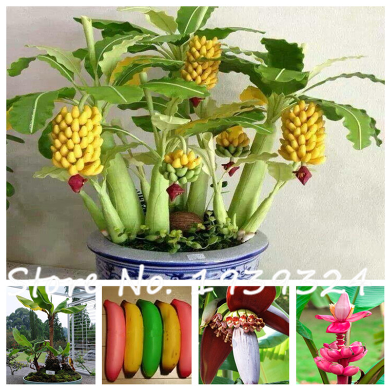 popular dwarf fruit trees livebuy cheap dwarf fruit trees live, Natural flower