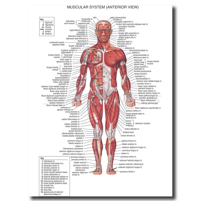 Human Anatomy Muscles System Wall Art Canvas Posters Prints Painting