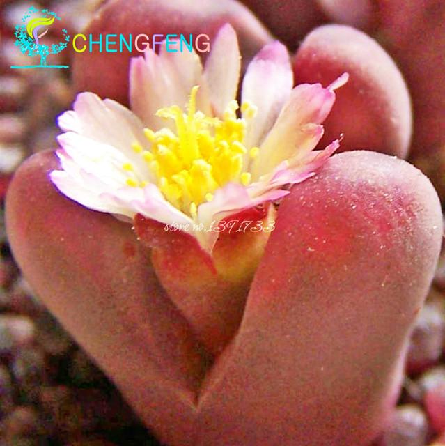 100pcs/ lot Lithops plants rare Cactus plants Flower plants home Bonsai Diy plant bonsai For Garden Decoration And men gift Seme