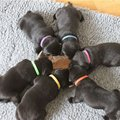 Whelping Puppy Kitten ID Collars 12 Colors Bands Soft Adjustable Identity recognition collar for Dog Pet Cat